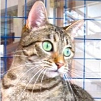 Egyptian Mau Cat for adoption in Davis, California - Kiya