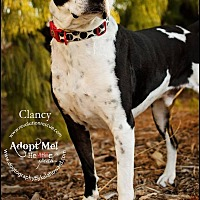 Adopt A Pet :: Clancy - Lincoln, NE