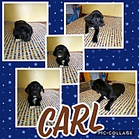 Adopt A Pet :: Carl - Sumter, SC