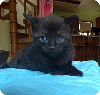 Bombay Kitten for adoption in Marlton, New Jersey - Donna's bombay kittens