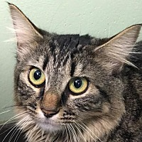 Domestic Mediumhair Cat for adoption in Auburn, California - Mitzy