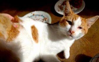 Domestic Shorthair/Domestic Shorthair Mix Cat for adoption in Santa Cruz, California - Louie