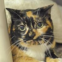 Domestic Shorthair/Domestic Shorthair Mix Cat for adoption in Annapolis, Maryland - Kitty Kate