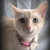 Siamese Cat for adoption in Allentown, Pennsylvania - Tango