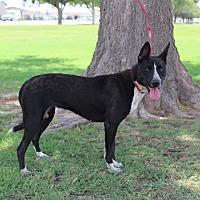 Adopt A Pet :: A05 Daria - Odessa, TX