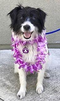 Border Collie/Terrier (Unknown Type, Medium) Mix Dog for adoption in Fremont, California - Mison D5683