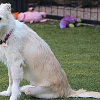 Schnauzer (Standard) Mix Dog for adoption in Bedminster, New Jersey - Gigi