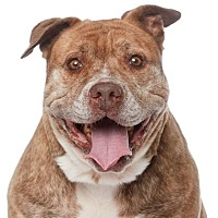 Pit Bull Terrier/Shar Pei Mix Dog for adoption in Los Angeles, California - Princess