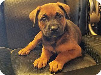 Cattle Dog Mix Puppy for adoption in Apache Junction, Arizona - Latigo