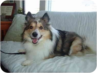 Sheltie, Shetland Sheepdog/Pomeranian Mix Dog for adoption in San Diego, California - Kylie