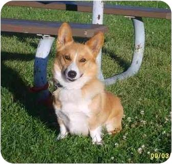 Corgi/Welsh Corgi Mix Dog for adoption in Austin, Minnesota - Gopher