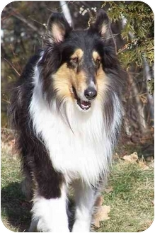 Collie Dog for adoption in Toronto, Ontario - Dusty