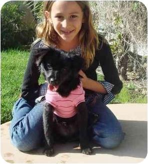 Pekingese/Chihuahua Mix Dog for adoption in El Cajon, California - Chibi