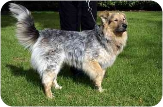 Collie/German Shepherd Dog Mix Dog for adoption in Houston, Texas - Baxter