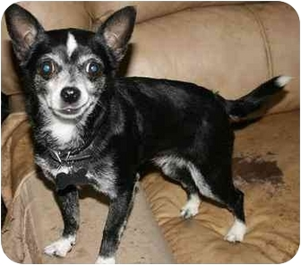 Chihuahua Dog for adoption in House Springs, Missouri - Frannie