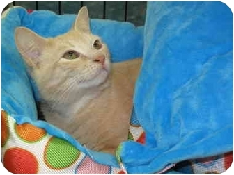 Domestic Shorthair Cat for adoption in Port Republic, Maryland - Sammy
