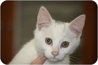 Siamese Kitten for adoption in Prince William County, Virginia - richy