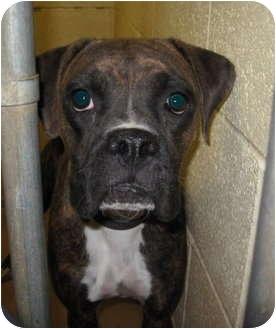 Boxer Dog for adoption in Stillwater, Oklahoma - Dorcas