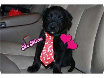 Labrador Retriever Mix Puppy for adoption in Windham, New Hampshire - Whiskey