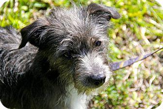 Schnauzer (Miniature)/Terrier (Unknown Type, Small) Mix Dog for adoption in Boynton Beach, Florida - Gray