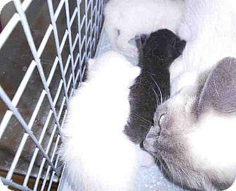 Siamese Kitten for adoption in Yuba City, California - Kitten#B
