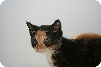 Calico Kitten for adoption in East Brunswick, New Jersey - Lynn