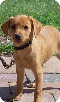 Beagle/Miniature Pinscher Mix Puppy for adoption in Milford, New Jersey - Snuggie