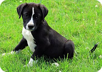 Border Collie Mix Puppy for adoption in Allentown, Pennsylvania - Lacy