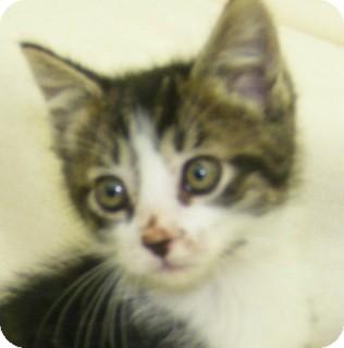 Domestic Shorthair Kitten for adoption in Olive Branch, Mississippi - Greg