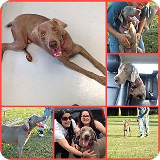 Weimaraner Dog for adoption in Inverness, Florida - RANIER