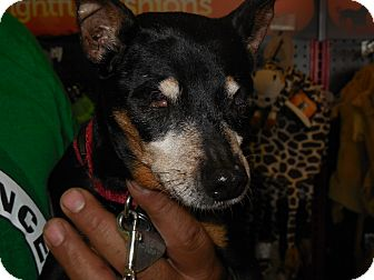 Miniature Pinscher Dog for adoption in Whiting, Indiana - Hope
