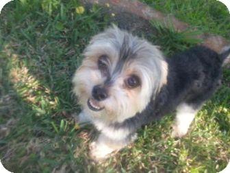 Yorkie, Yorkshire Terrier Dog for adoption in Plantation, Florida - ELVIS