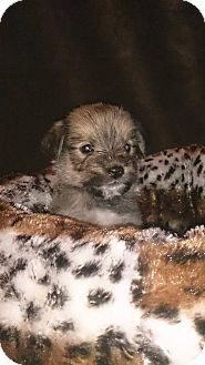 Poodle (Miniature) Mix Puppy for adoption in Quincy, Indiana - Eva