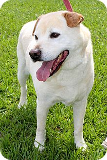 Spitz (Unknown Type, Medium)/Shar Pei Mix Dog for adoption in Myakka City, Florida - Harley