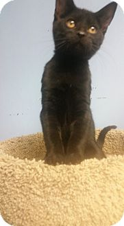 Domestic Shorthair Kitten for adoption in Glen Mills, Pennsylvania - Ziti