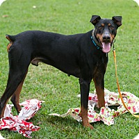 Adopt A Pet :: Scoop - Fort Worth, TX