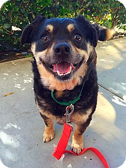 Pug/Spaniel (Unknown Type) Mix Dog for adoption in Mission Viejo, California - Crackers
