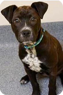 American Staffordshire Terrier/Labrador Retriever Mix Puppy for adoption in Barnegat, New Jersey - Rebecca