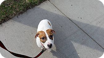 Pit Bull Terrier/Hound (Unknown Type) Mix Puppy for adoption in Lakeville, Minnesota - Howard