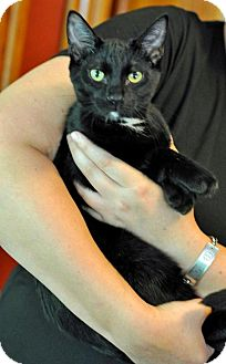 Domestic Shorthair Kitten for adoption in Chicago, Illinois - Nicholas