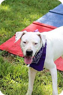 Dogo Argentino Mix Dog for adoption in Lakeland, Florida - Ellie