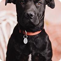 Adopt A Pet :: Amelia - Portland, OR