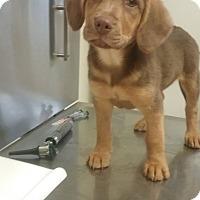 Adopt A Pet :: Lawrence - Shelter Island, NY