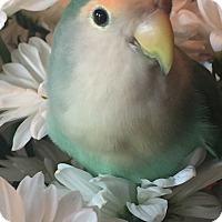 Adopt A Pet :: Mango - Tampa, FL
