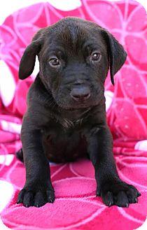 Labrador Retriever Mix Puppy for adoption in Syracuse, New York - Floki