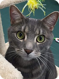 Domestic Shorthair Cat for adoption in Nottingham, Maryland - Nick