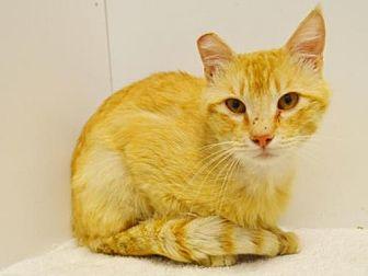 Domestic Mediumhair Cat for adoption in Sacramento, California - *KIMBALL