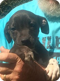 Black Mouth Cur Mix Puppy for adoption in Slidell, Louisiana - Peter