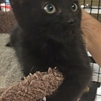 Adopt A Pet :: Munchkin - Santa Fe, NM