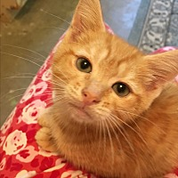 Domestic Shorthair Kitten for adoption in Butner, North Carolina - Skeeter